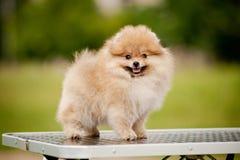 Gulligt Pomeranian anseende på ansatabellen Royaltyfri Foto