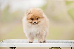 Gulligt Pomeranian anseende på ansatabellen Arkivfoto