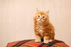Gulligt rött kattungesammanträde på en pläd Arkivbild
