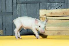 Gulligt roligt svin Arkivfoto