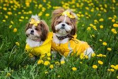 Gulligt sammanträde för den lilla hunden bland guling blommar i gula overaller med pilbågar i grönt gräs i parkera royaltyfri bild