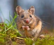 Gulligt sammanträde för Wood mus på dess bakre ben Arkivbild