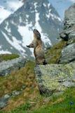Gulligt sitt upp på dess bakre ben den djura murmeldjuret, Marmotamarmotaen som in sitter honom, gräs, i naturlivsmiljön, Grossgl Arkivfoto