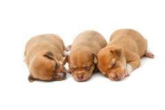 gulligt sova för chihuahuavalpar Arkivfoto
