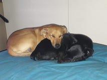 Gulligt sova för hundkapplöpning Royaltyfria Bilder