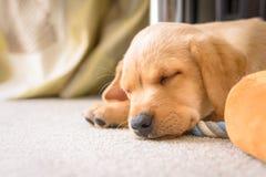Gulligt sova för labradorvalp Arkivfoton