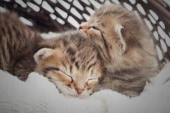 gulligt sova för kattungar Arkivfoto