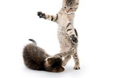 Gulligt spela för strimmig kattkattungar Royaltyfri Fotografi
