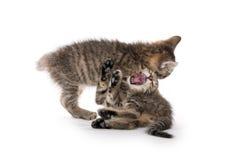 Gulligt spela för strimmig kattkattungar Royaltyfri Bild
