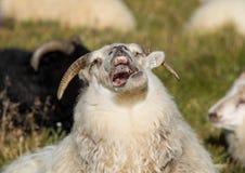 Gulligt stort vitt RAM som skrattar får med stora horn iceland arkivfoton