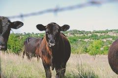 Gulligt svart angus kalvslut upp i lantgårdfältet som ser kameran arkivfoton