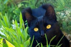 Gulligt svart kattungesammanträde i gräset Katten har ljusa gula ögon arkivfoton