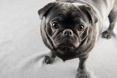 Gulligt svart mopshundanseende på en matta Royaltyfri Foto
