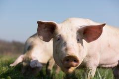 Gulligt svin i gräs Royaltyfria Foton