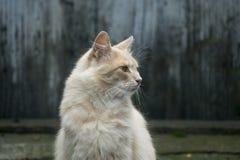 Gulligt tänd - den orange katten som poserar för stående arkivbilder
