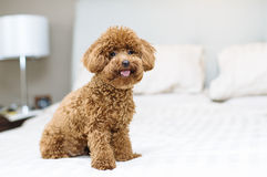Gulligt Toy Poodle sammanträde på säng Royaltyfri Foto