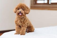 Gulligt Toy Poodle sammanträde på säng arkivbilder