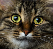 Gulligt tysta ned closeupen för strimmig kattkatten Fotografering för Bildbyråer