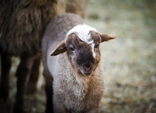 Gulligt ungt litet lamm Fotografering för Bildbyråer