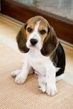 gulligt vardagsrum för beagle Arkivbilder