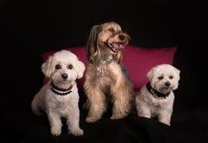 Gulligt vita Terrier för västra högland sammanträde på svart royaltyfria bilder