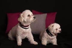 Gulligt vita Terrier för västra högland sammanträde på svart arkivfoton