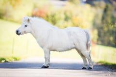 Gulligt vitt anseende för Shetland ponny på vägen Royaltyfria Bilder