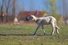 Gulligt vitt lamm på bygden royaltyfri fotografi