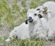 Gulligt vitt och svart lamm royaltyfria foton