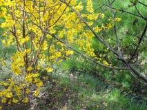 Gullregn och surt körsbärsrött träd nära diket royaltyfria foton
