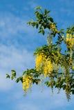 Gullregnträd i blomma under vår Royaltyfria Foton