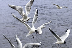 Gulls. Flying over a river Royalty Free Stock Photos