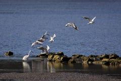 Gulls Royalty Free Stock Photography
