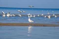 Gulls royalty free stock photos