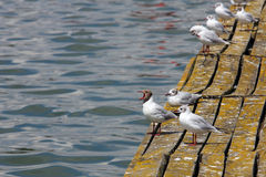 Gulls Royalty Free Stock Images