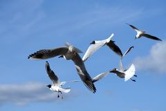 Gulls. Flying in the sky Stock Images