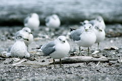 Gulls. Seagulls waiting for the wind to pick them up and carry them away Stock Images