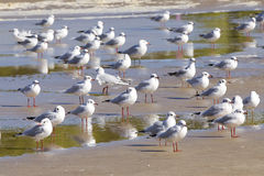 Free Gulls Royalty Free Stock Photo - 30664655