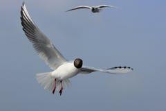 gulls Fotos de archivo libres de regalías