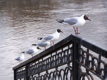 Gulls. Hunting at the Iset river shore in Ekaterinburg (Russi Royalty Free Stock Photo