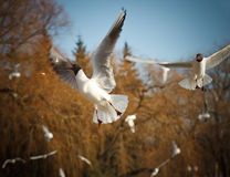 gulls Royalty-vrije Stock Afbeelding