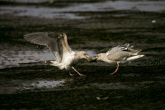 Gulls. Young seagulls brawl about food Stock Image