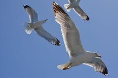 gulls Foto de archivo libre de regalías