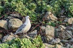 Gulls of Alcatraz Royalty Free Stock Photos