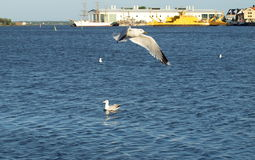 Gulls on the Baltic coast in Karlskrona. Stock Image