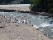 Gulls at the bank of the copper river Royalty Free Stock Photo