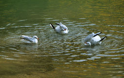 Gulls bathing. Common gulls bathing in the lake Royalty Free Stock Image