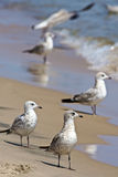 Gulls on the beach Stock Photos