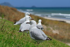 Gulls at the beach. Seagulls gathered on grass above the sand dunes at the beach. DOF on first bird Stock Photos