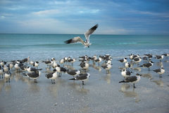 Gulls in a beach scene. Gulls with reflections in the water and flying into the flock at the beach Stock Image